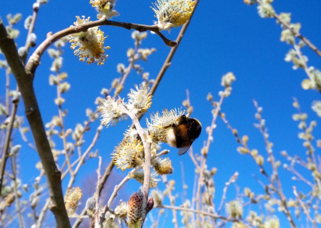 Wierzba kwitnąca przedulistnieniem. Wśród bazi uwija się włochaty owad.