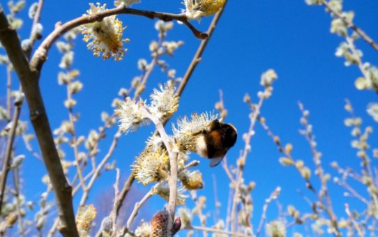 Wierzba kwitnąca przed ulistnieniem. Wśród bazi uwija się włochaty owad.