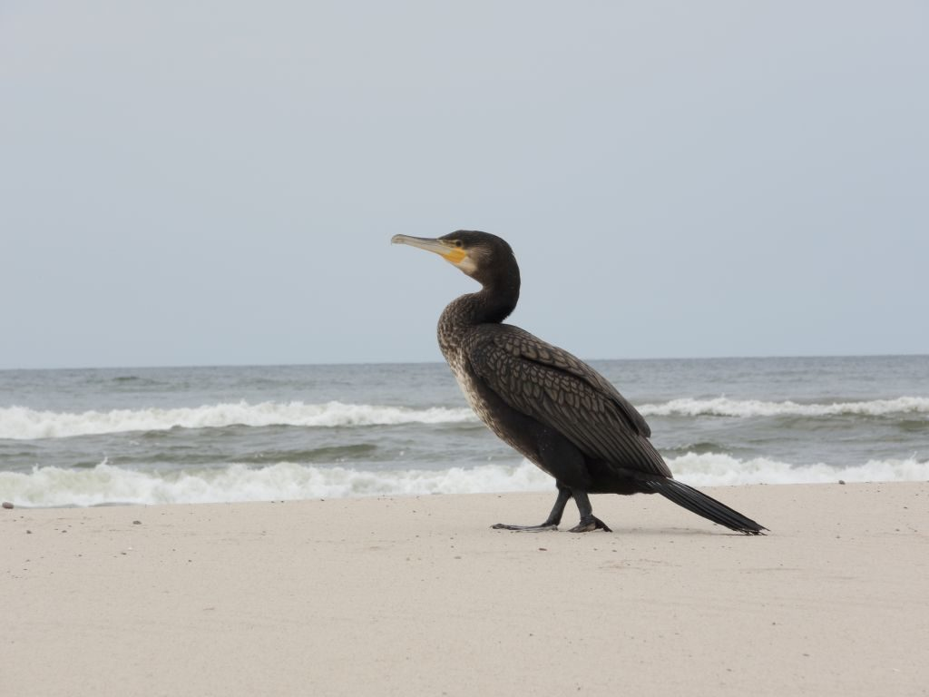 Czarno upierzony ptak naplaży. Kormoran. Wtle morze.