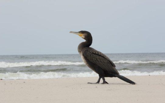 Czarno upierzony ptak na plaży. Kormoran. W tle morze.