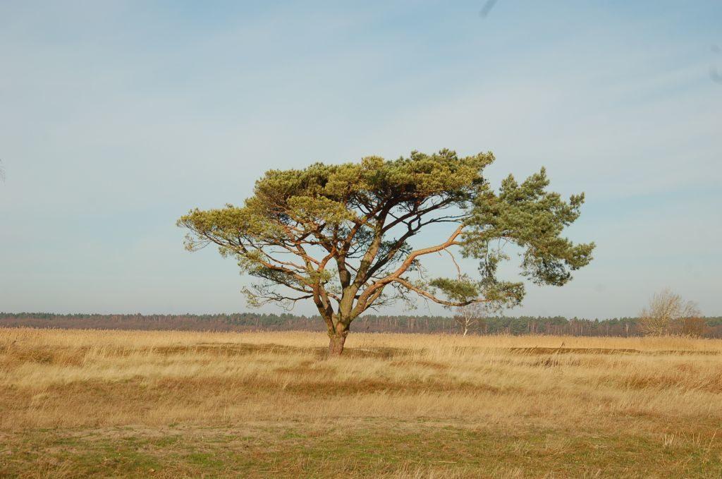 Pojedyncze drzewo rosnące narówninie. Zimozielone igły odcinają się odniebieskiego nieba iuschniętej, zeszłorocznej trawy wokół.