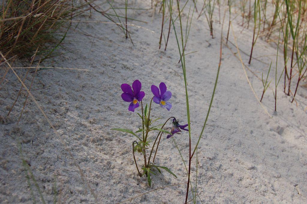 Pojedyncza roslina ztrzema fioletowymi kwiatkami zżółtym środkiem rosnąca nawydmie. Wtle pojedyncze źdźbła traw.