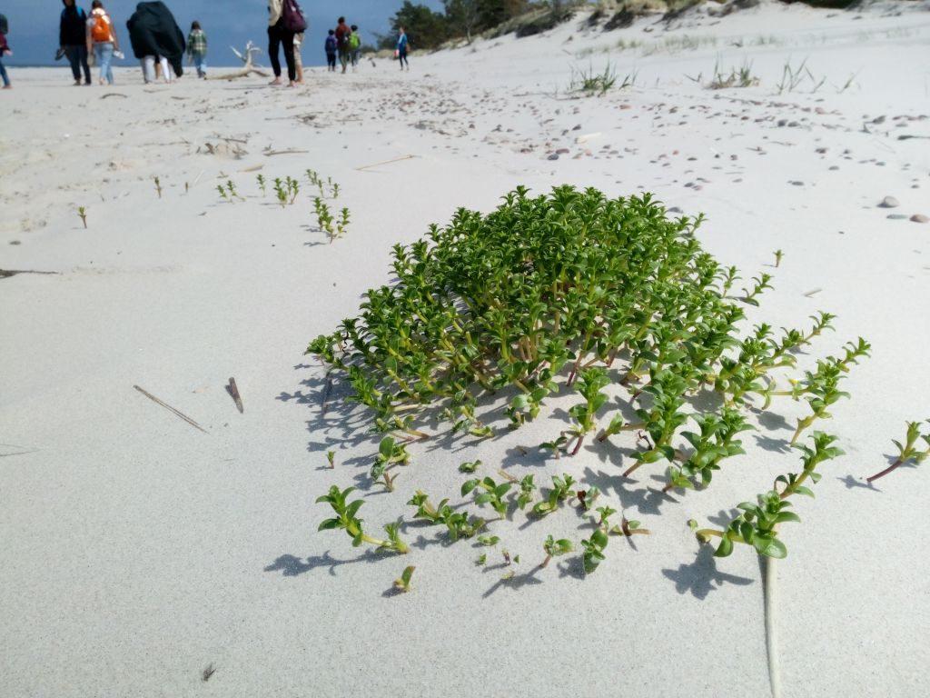 Plaża, ananiej kopczyk piasku obrośnięty zieloną kępą rośliny. Wtle widać turystów.