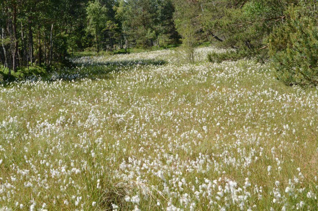 Łany białoowocujących roślin natorfowisku. Dominujące światło wskazuje naśrodek czerwcowego dnia.