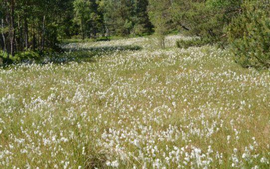 Łany białoowocujących roślin na torfowisku. Dominujące światło wskazuje na środek czerwcowego dnia.