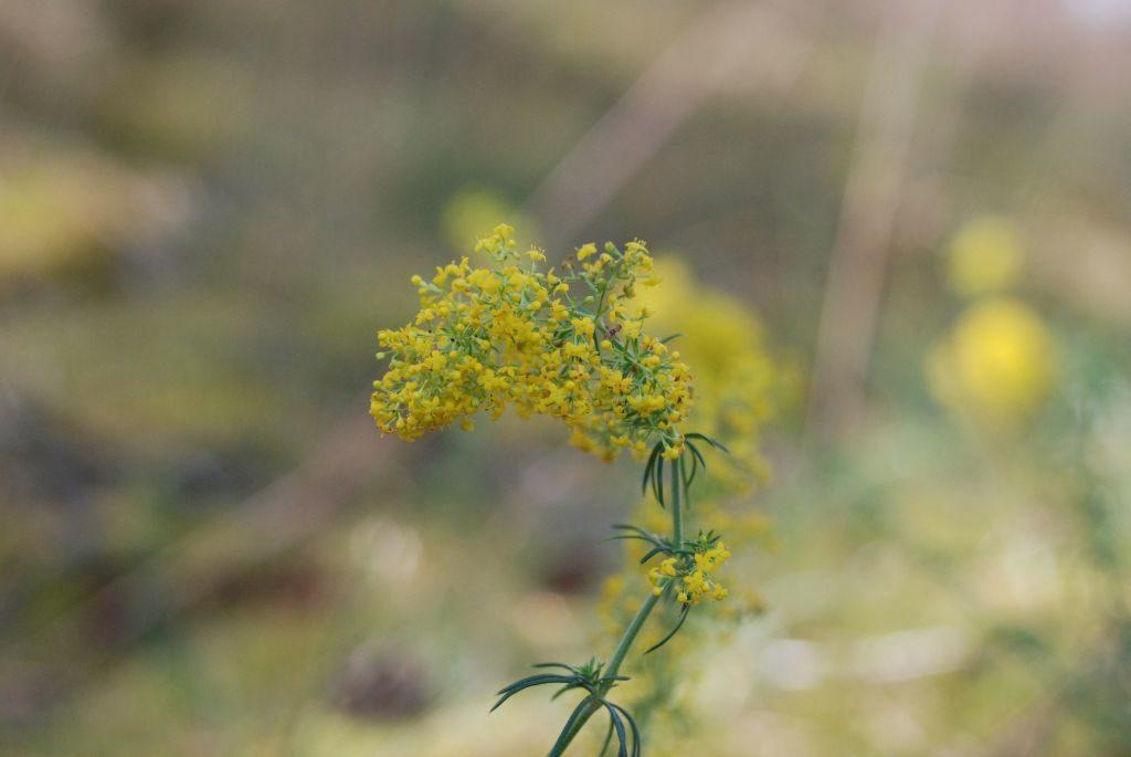 Żółty kwiatostan składający się zwielu małych kwiatków, część zwydatnymi pręcikami. Tło rozmazane.