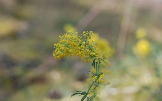 Żółty kwiatostan skaładający się z wielu małych kwiatków, część z wydatnymi pręcikami. Tło rozmazane.