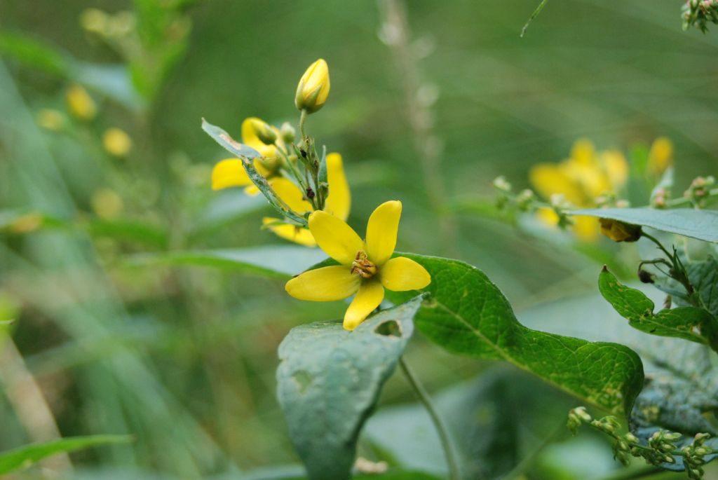 Żółty kwiatek zpięcioma płatkami. Liść ciemnozielony, tło zielone, rozmazane.