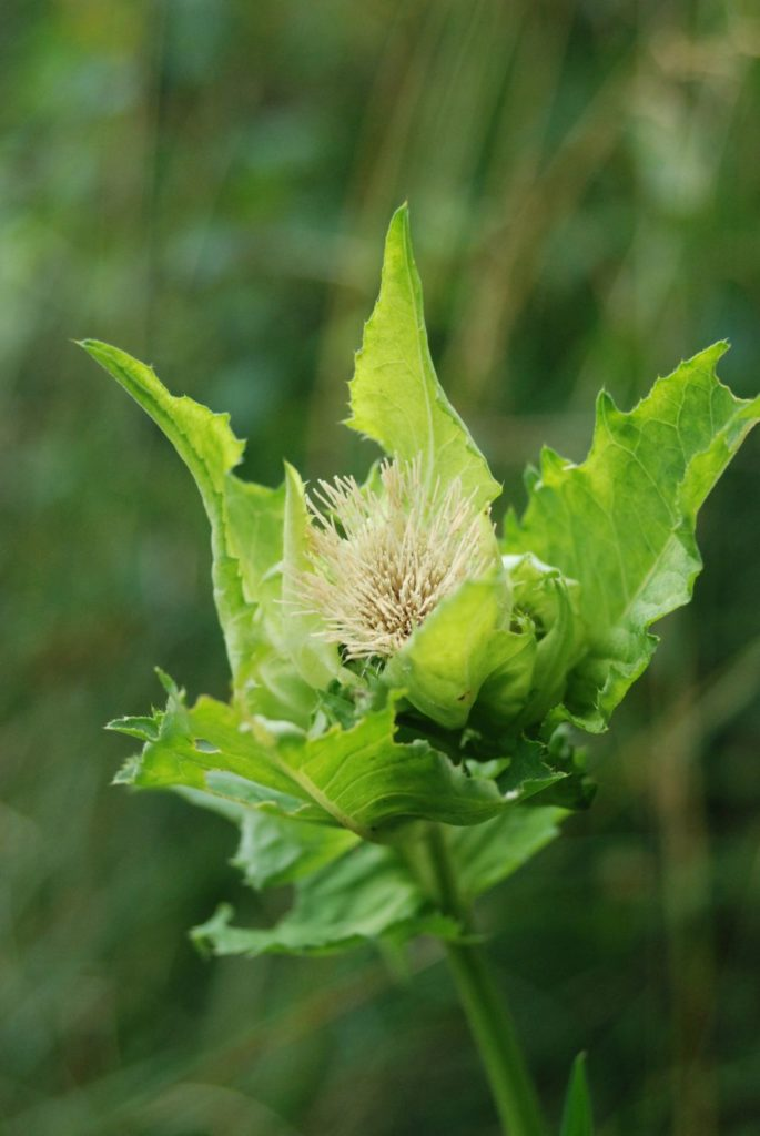 Szczyt rośliny wpostaci białego bezpłatkowego kwiatostanu otulonego jasnozielonymi listkami.