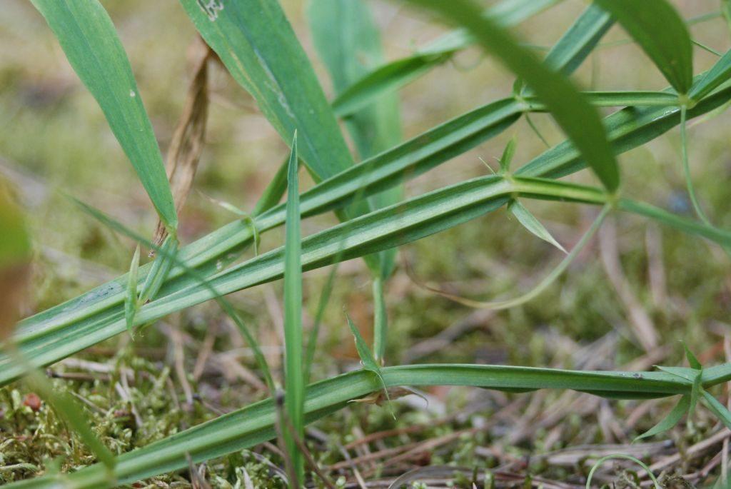Fragment zielonej łodygi zcharakterystycznymi listewkami pobokach. Wtle mszyste runo.