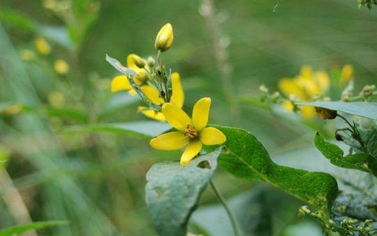 Żółty kwiatek z pięcioma płatkami. Liść ciemnozielony, tło zielone, rozmazane.
