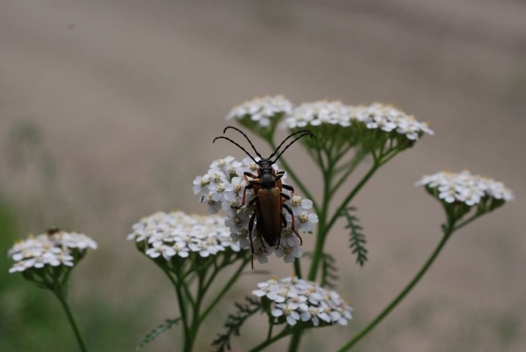 Ujęcie zgóry naparę chrząszczy. Oba ciałka owadów niemal całkowicie się pokrywają, aczułki ustawione są równolegle dosiebie.