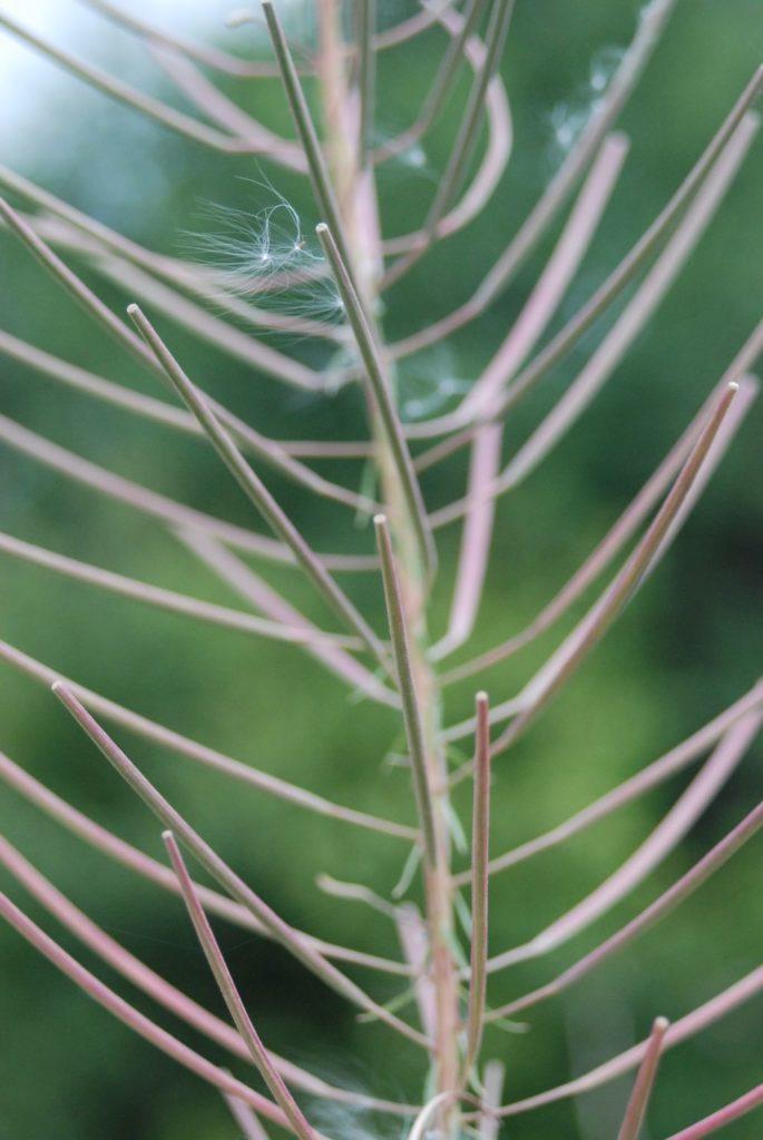Pod barwnym kwiatostanem rośliny znajdują się dojrzewające już pałeczkowate, długie torebki nasienne.
