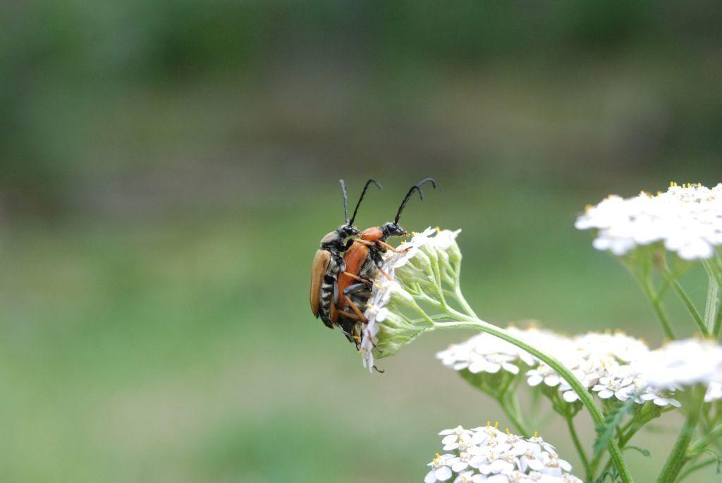 Dwa chrząszcze, jeden nadrugim, różniące się wielkością ibarwą, wakcie kopulacji nakwatostanie krwawnika. Nadole czerwonawa samica, ugóry mniejszy jasnobrązowy samiec.